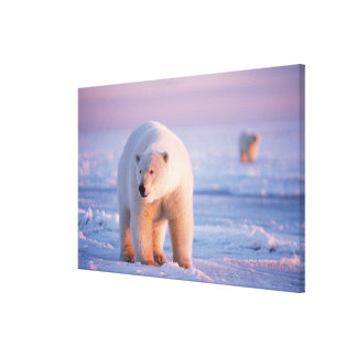 polar bear, Ursus maritimus, large boar on the Stretched Canvas Prints