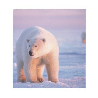 polar bear, Ursus maritimus, large boar on the Notepad