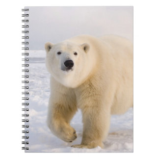 polar bear, Ursus maritimus, on ice and snow, 2 Spiral Note Books