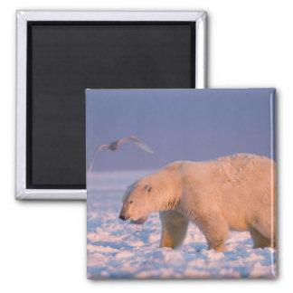 polar bear, Ursus maritimus, on ice and snow, 3 Magnet