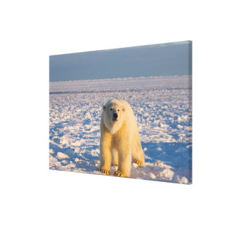 polar bear, Ursus maritimus, on ice and snow, Stretched Canvas Print