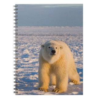 polar bear, Ursus maritimus, on ice and snow, Notebook