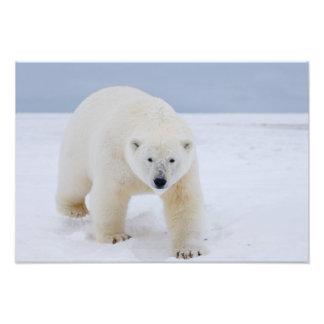 polar bear, Ursus maritimus, on ice and snow, Photographic Print
