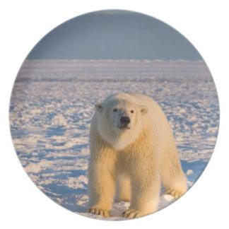 polar bear, Ursus maritimus, on ice and snow, Plate