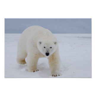 polar bear, Ursus maritimus, on ice and snow, Poster