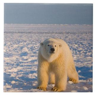 polar bear, Ursus maritimus, on ice and snow, Tile