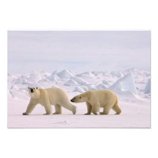 polar bear, Ursus maritimus, pair in rough ice Photograph