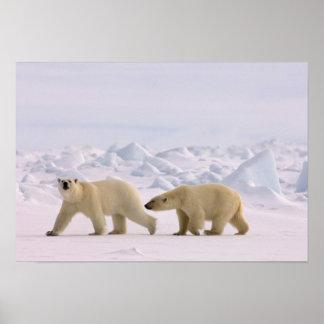 polar bear, Ursus maritimus, pair in rough ice Print