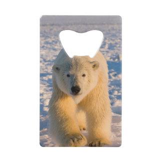 polar bear, Ursus maritimus, polar bear on ice