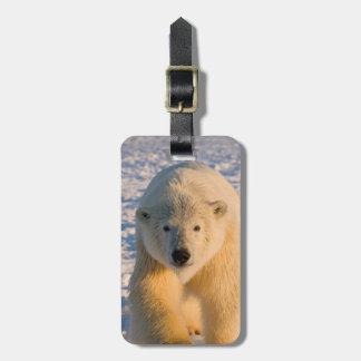 polar bear, Ursus maritimus, polar bear on ice Luggage Tag
