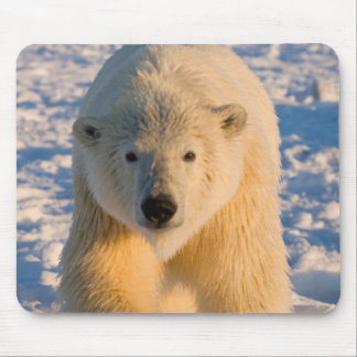 polar bear, Ursus maritimus, polar bear on ice Mouse Pad