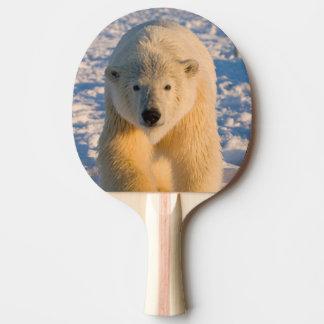 polar bear, Ursus maritimus, polar bear on ice Ping Pong Paddle