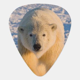 polar bear, Ursus maritimus, polar bear on ice Plectrum