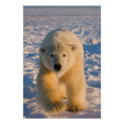 polar bear, Ursus maritimus, polar bear on ice Poster