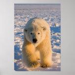 polar bear, Ursus maritimus, polar bear on ice Posters