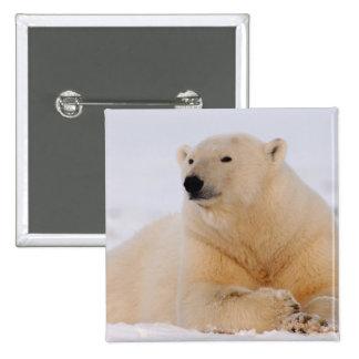 polar bear, Ursus maritimus, resting on the 15 Cm Square Badge