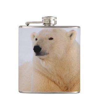 polar bear, Ursus maritimus, resting on the Flasks
