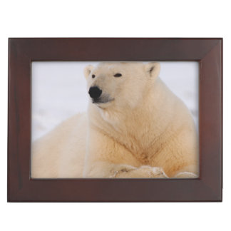 polar bear, Ursus maritimus, resting on the Keepsake Box