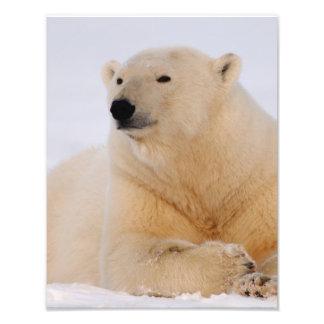 polar bear, Ursus maritimus, resting on the Photograph