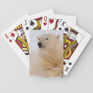 polar bear, Ursus maritimus, resting on the Playing Cards
