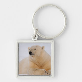 polar bear, Ursus maritimus, resting on the Silver-Colored Square Key Ring