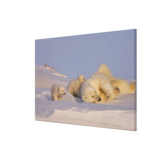 polar bear, Ursus maritimus, sow playing with Canvas Print