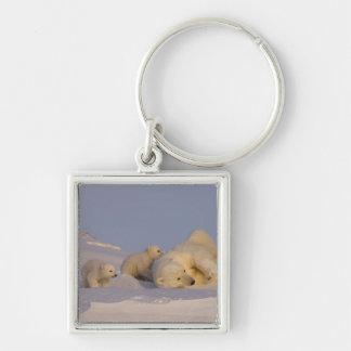 polar bear, Ursus maritimus, sow playing with Key Ring