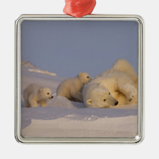 polar bear, Ursus maritimus, sow playing with Silver-Colored Square Decoration