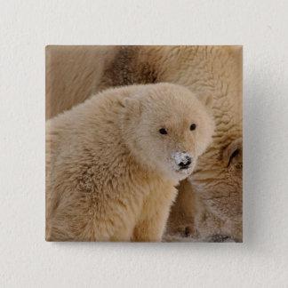 polar bear, Ursus maritimus, sow with cub 15 Cm Square Badge