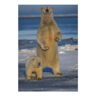 polar bear, Ursus maritimus, sow with cub 2 Poster