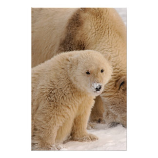polar bear, Ursus maritimus, sow with cub 3 Photo Print