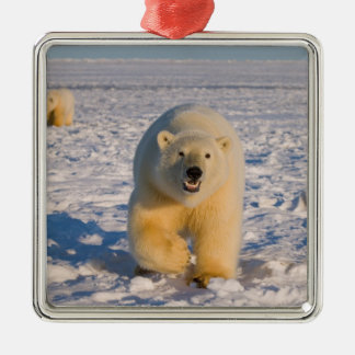 polar bear, Ursus maritimus, sow with cubs on 2 Silver-Colored Square Decoration