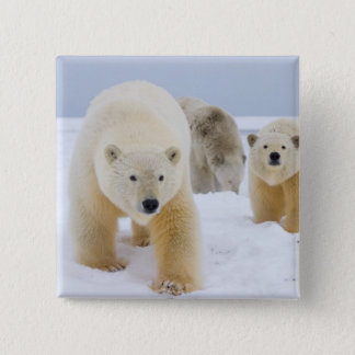 polar bear, Ursus maritimus, sow with cubs on 3 15 Cm Square Badge