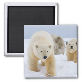 polar bear, Ursus maritimus, sow with cubs on 3 Magnet