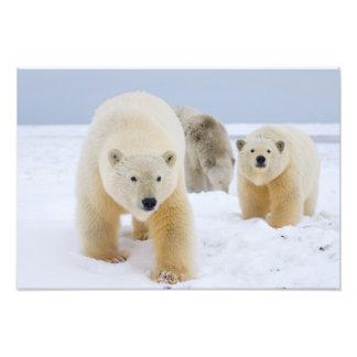 polar bear, Ursus maritimus, sow with cubs on 3 Photo Print