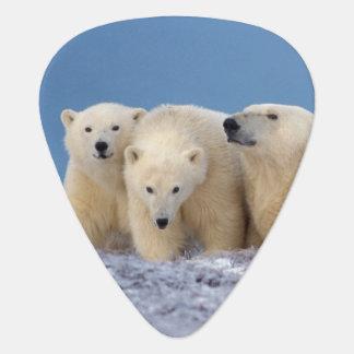polar bear, Ursus maritimus, sow with cubs Plectrum