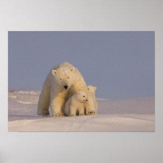 polar bear, Ursus maritimus, sow with newborn 2 Poster
