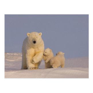 polar bear, Ursus maritimus, sow with newborn 3 Postcard