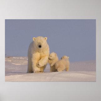 polar bear, Ursus maritimus, sow with newborn 3 Poster