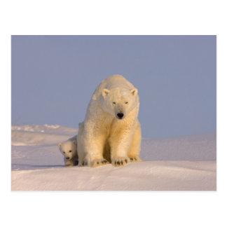 polar bear, Ursus maritimus, sow with newborn Postcard
