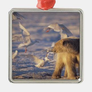 polar bear, Ursus maritimus, with Christmas Ornament