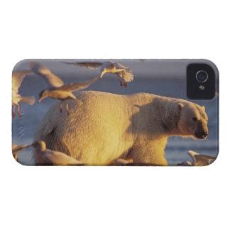 polar bear, Ursus maritimus, with iPhone 4 Case-Mate Case