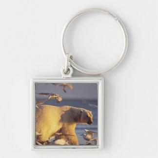 polar bear, Ursus maritimus, with Key Chains