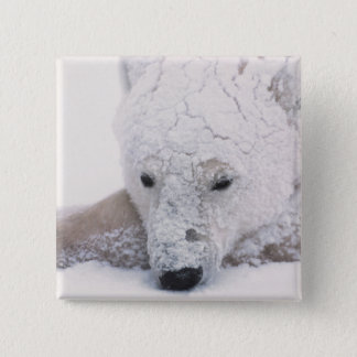 Polar Bear, Urus Maritimus, Arctic, Churchill, 15 Cm Square Badge