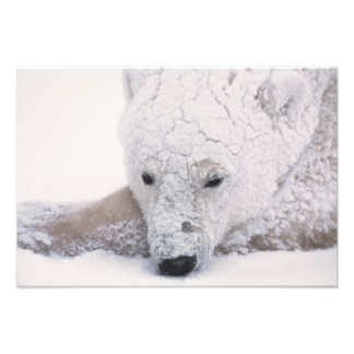 Polar Bear, Urus Maritimus, Arctic, Churchill, Photo Print