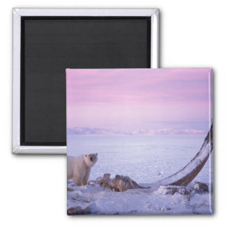 Polar bear with bowhead whale carcass on pack square magnet