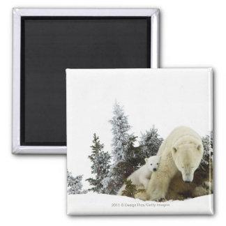 Polar Bears At Wapusk National Park Square Magnet