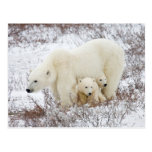 Polar Bears female and Two cubs Postcard