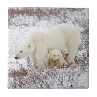 Polar Bears female and Two cubs Tile