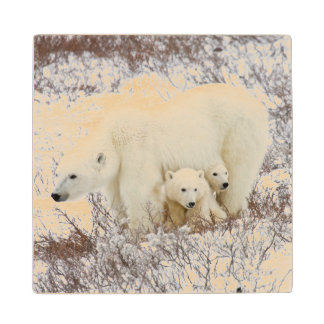 Polar Bears female and Two cubs Wood Coaster